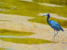 Un caerulea del Egretta de la garza de pequeño azul en la reserva acuática de la bahía del limón en Cedar Point Environmental Par imagen de archivo