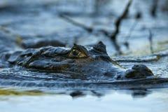 Un caimano scivola silenziosamente sul fiume immagine stock