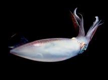 Un calamar en la noche en el gulfsteram Fotos de archivo