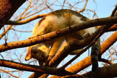 Un calicò Cat Looks Down alla macchina fotografica da un albero Immagine Stock Libera da Diritti