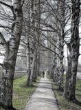 Un callejón del abedul iluminado por el sol con una persona que camina adelante Fotografía de archivo libre de regalías