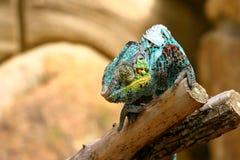 Un caméléon coloré photo stock