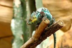 Un caméléon coloré photos libres de droits