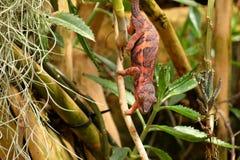 Un caméléon coloré photographie stock libre de droits