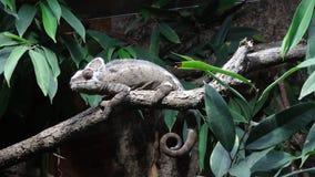 Un caméléon sur une branche d'arbre Images stock