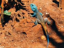 Un camaleón Fotografía de archivo