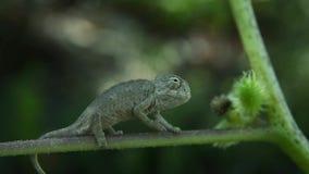 Un camaleón que intenta descubrir el mundo metrajes