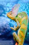 Un camaleón verde fotografía de archivo libre de regalías