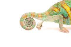 Un camaleonte dell'Yemen Fotografia Stock Libera da Diritti