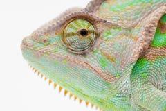 Un camaleonte della museruola dell'Yemen Fotografia Stock