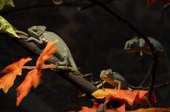 Un camaleonte di 3 maschi su un albero Fotografia Stock