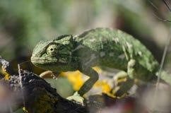 Un camaleonte su un ramo. Immagini Stock