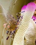Un camarón manchado del limpiador en una anémona Rosado-inclinada en Curaçao imagenes de archivo