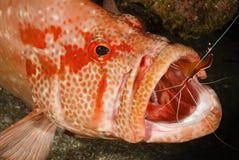Un camarón más limpio Fotos de archivo libres de regalías