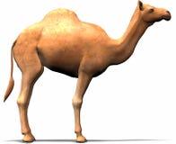 Un camello Imágenes de archivo libres de regalías