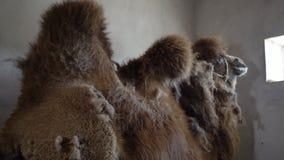 Un camello dentro de su jaula almacen de metraje de vídeo