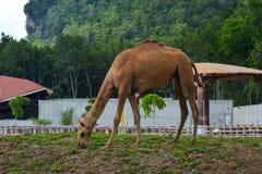 Un camello en el parque zoológico en la isla de Langkawi fotos de archivo