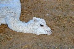 Un camello nuevamente llevado fotos de archivo