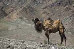 Un camello salvaje en Kirguistán Fotografía de archivo