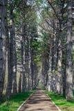 Un camino de la montaña del bosque, alineado con los árboles de pinos, cerca de parque en la primavera foto de archivo libre de regalías