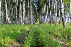 Un camino de tierra que corre a través de una arboleda del abedul Imagen de archivo