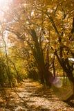 Un camino a través de árboles de arce anaranjados coloridos Foto de archivo libre de regalías