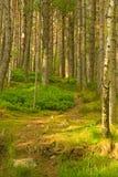 Un camino a través del bosque del pino. Fotos de archivo
