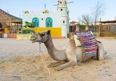 Un cammello Immagini Stock