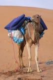 Un cammello Immagine Stock