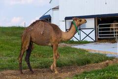 Un cammello della gobba nella contea di Lancaster Immagine Stock