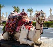 Un cammello di guida in una coperta luminosa sulla via soleggiata di Sharm fotografia stock