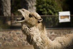 Un cammello freddo Immagine Stock