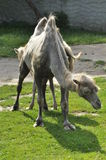 Un cammello nello zoo Fotografia Stock Libera da Diritti