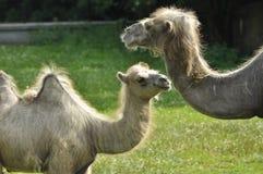 Un cammello nello zoo Immagini Stock Libere da Diritti