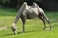 Un cammello nello zoo, deserto del mammifero. Cibo dell'erba Immagine Stock