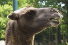 Un cammello in uno zoo Fotografia Stock