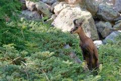 Un camoscio nel parco nazionale di Ecrins fotografia stock libera da diritti