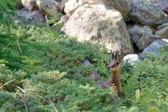 Un camoscio nel parco nazionale di Ecrins fotografie stock libere da diritti