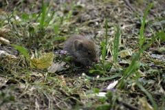 Un campañol común ( microtus arvalis) come la pequeña flor y algunas semillas fotos de archivo