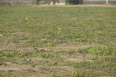 Un campo abandonado de sandías y de melones Sandías putrefactas Restos de la cosecha de melones Verduras de la descomposición en  Imagen de archivo