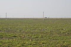 Un campo abandonado de sandías y de melones Sandías putrefactas Restos de la cosecha de melones Verduras de la descomposición en  Imágenes de archivo libres de regalías