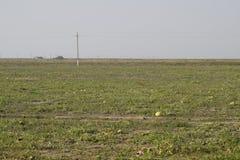 Un campo abandonado de sandías y de melones Sandías putrefactas Restos de la cosecha de melones Verduras de la descomposición en  Fotografía de archivo libre de regalías