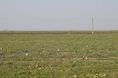 Un campo abandonado de sandías y de melones Sandías putrefactas Restos de la cosecha de melones Verduras de la descomposición en  Fotos de archivo