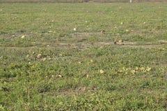 Un campo abandonado de sandías y de melones Sandías putrefactas Restos de la cosecha de melones Verduras de la descomposición en  Fotografía de archivo