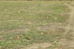 Un campo abandonado de sandías y de melones Sandías putrefactas Restos de la cosecha de melones Verduras de la descomposición en  Imagenes de archivo