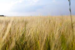 Un campo agricolo con il raccolto Fotografia Stock