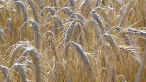 Un campo agricolo su cui cresca i cereali, cereali dorati, spighe del granoturco Fotografie Stock