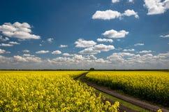 Un campo amarillo de flores y de un cielo claro azul Imágenes de archivo libres de regalías