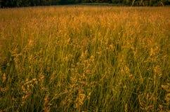 Un campo aperto di erba alta nella penombra di estate Immagini Stock