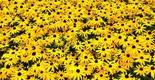 Un campo asoleado con Susans Black-eyed imagenes de archivo
